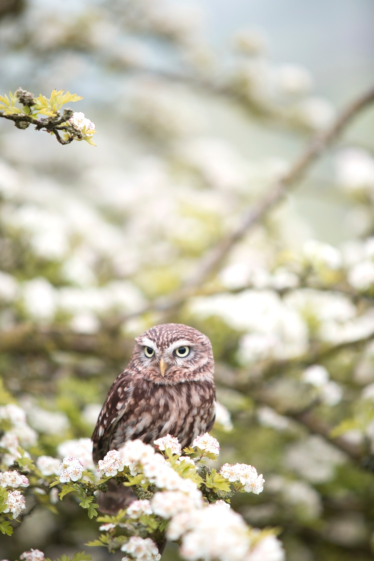 owl-andy-chilton-104266