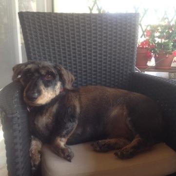 O cão da Quinta dos Chões: Koos