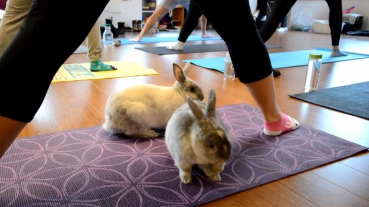 bunny-yoga-classes-with-rabbits